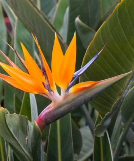 Hawaiian Bird Of Paradise Tropical Flower