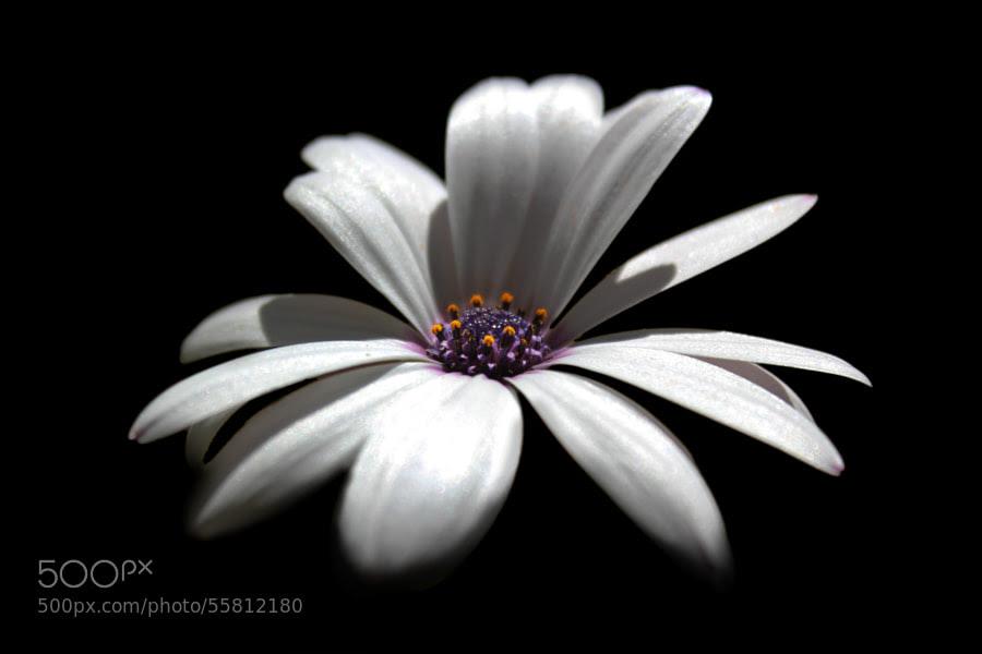 Photograph White Osteospermum by Khalil Hammami on 500px