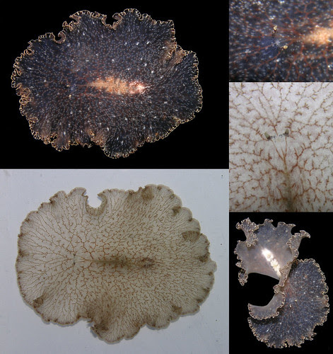 Polyclad flatworm collage
