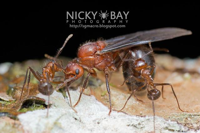 Ant (Myrmicaria sp.) - DSC_6164