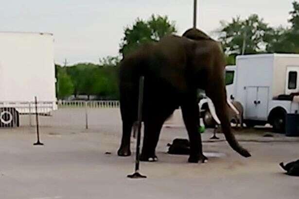 Vídeo revoltante mostra elefante de circo vivendo em condições precárias