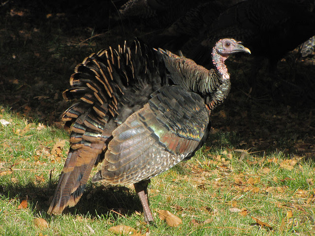 wild turkey showing fall colors