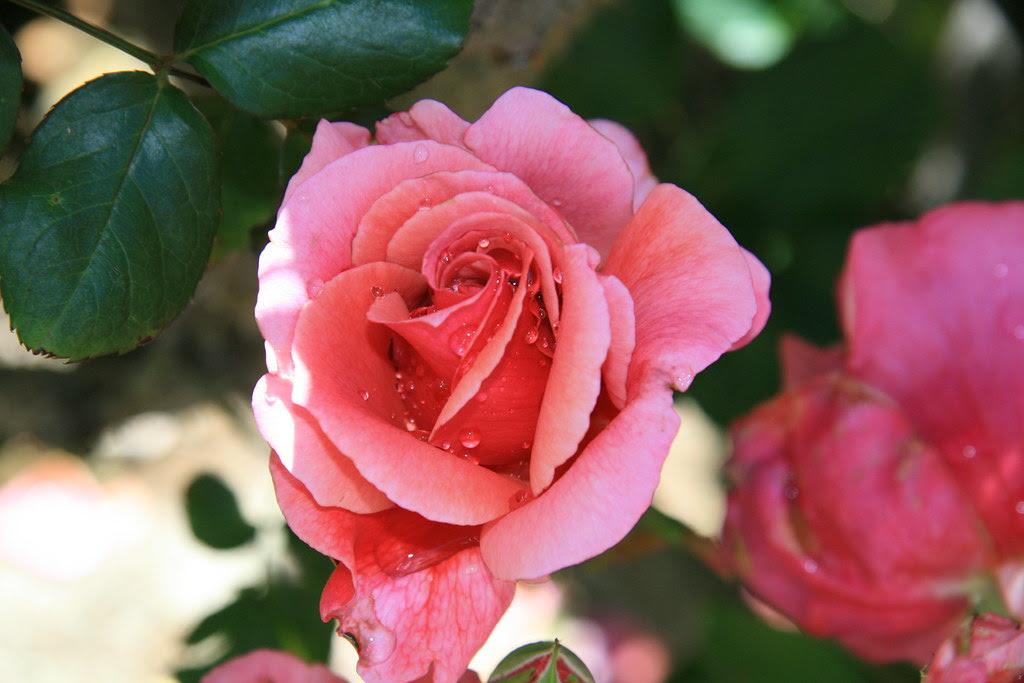 Rose at Roberts