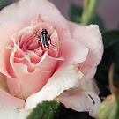 {the fly and the rose} by Brenda Smith