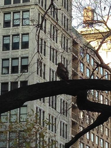 A hawk, Union Square Park