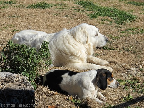 Daisy and Bert in weekend recovery mode - FarmgirlFare.com