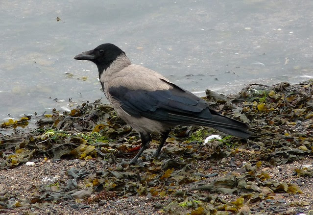 24508 - Hooded Crow, Oban