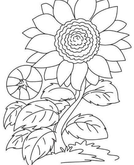 300 Gambar Bunga Matahari Pensil  Paling Keren