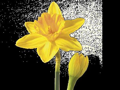 Daffodilnarcissus Flower Meaning Symbolism Teleflora