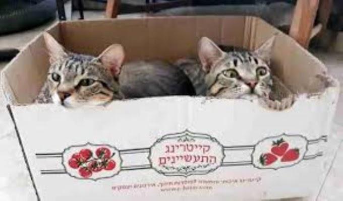 Los gatos «NO tienen idea» de cómo cayó el colchón desde el estante en el que están sentados