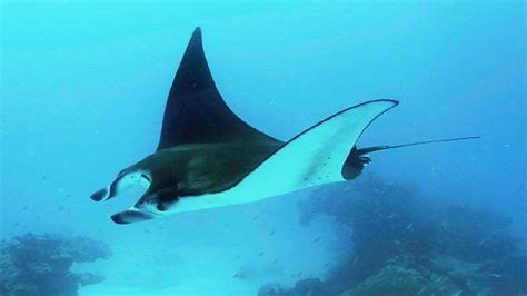 813 Magazine Manta Rays are First Fish to Recognize Themselves in a Mirror ? 813 Magazine