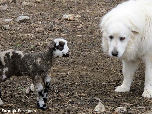 Curious little lambs (7) - Helga's twin boy inspecting LGD Daisy - FarmgirlFare.com