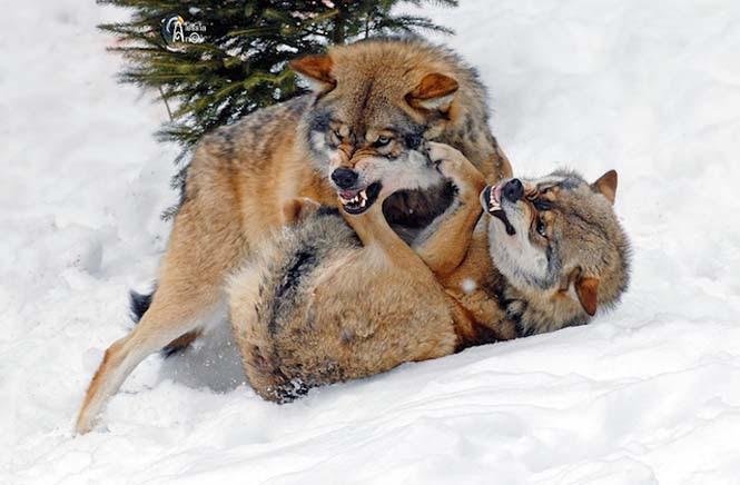 Εκπληκτικές φωτογραφίες λύκων (6)