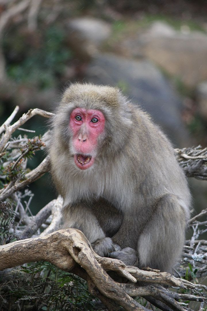 Ahhhh Monkey at Iwatayama photo 2013-12-21220749_zps0732bbd5.jpg