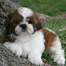 Pets On Lex NYC :: Shih Tzu