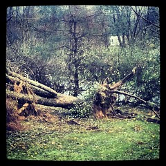 Both #weepingwillow #trees destroyed by #Sandy  #newhampshire #storm #damage #unhappy #sad