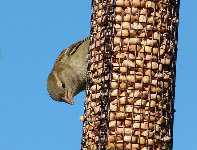 27271 - House Sparrow, Garden