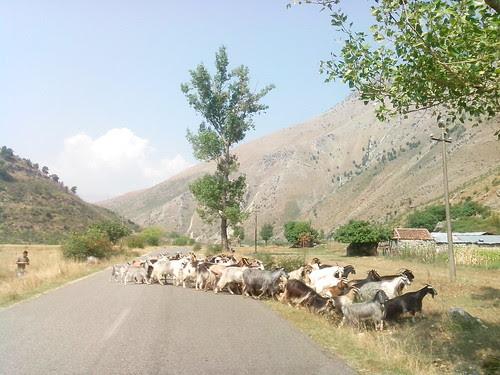 Alt, dare la precedenza alle capre! by Ylbert Durishti