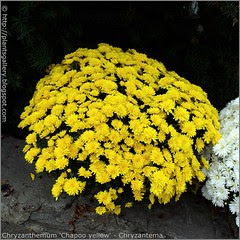 Chryzanthemum 'Chapoo yellow' - Chryzantema 'Chapoo yellow' kwiaty
