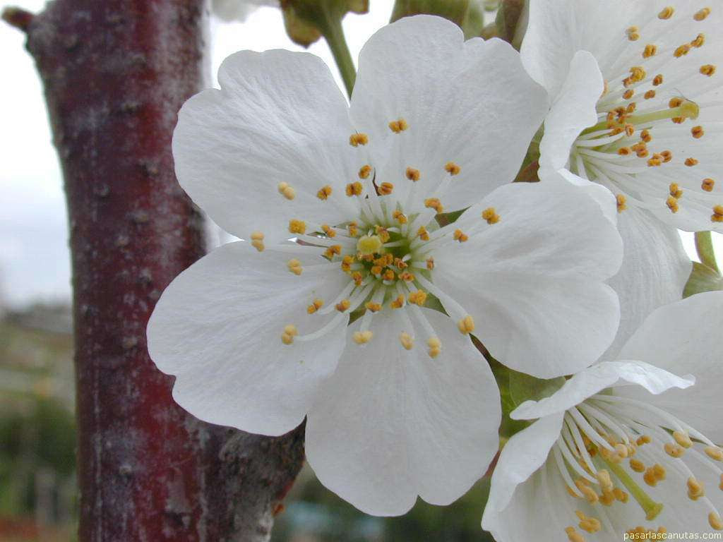 Fotos De Flores La Flor Del Cerezo
