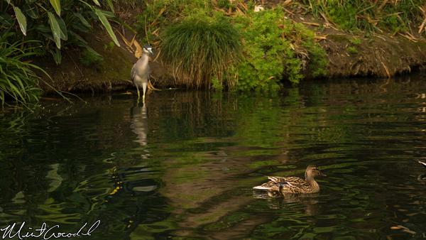 Disneyland Resort, Disneyland, Mother, Nature, Baby, Duck, Ducks