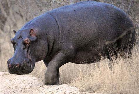 Images of Hippopotamus   Hippo   African Mammal