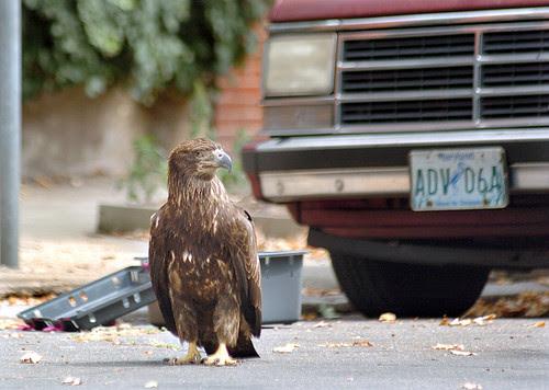 A Juvenile Bald Eagle in my neighborhood