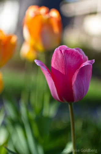tulips in subtle colors