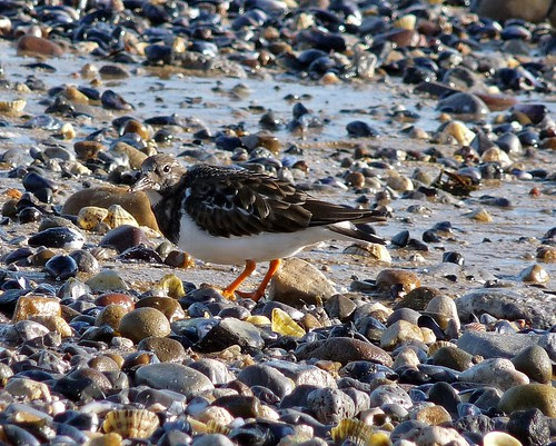 11772 - Turnstone at Mumbles, Gower