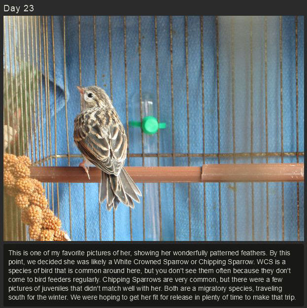 miniature_baby_songbird_rescued_and_raised_by_hand_640_high_19