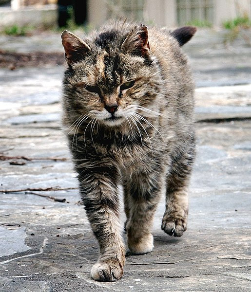 File:Feral cat Virginia crop.jpg