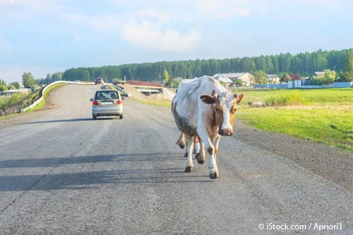 Cow Strolling