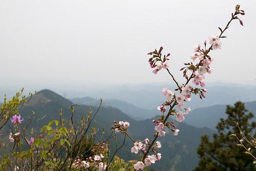 sakura, Hinode