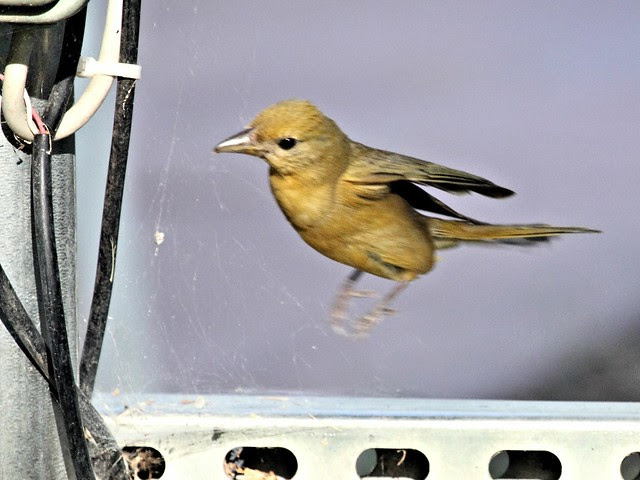 Summer Tanager 2-20130616