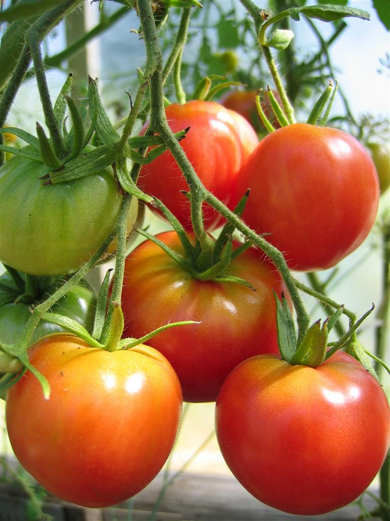 About Growing Tomatoes