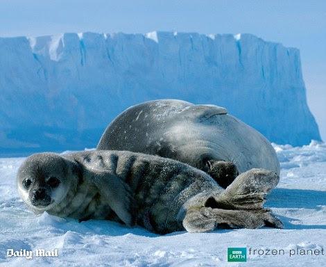 Um selo de bebê e sua mãe resto do gelo