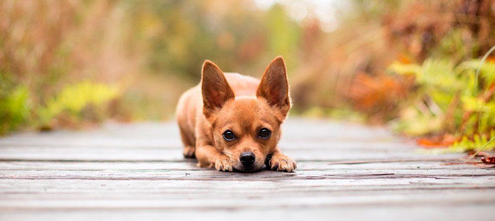 Las Razas De Perros Más Pequeñas Del Mundo