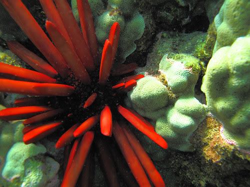 (Red) Slate Pencil Urchin