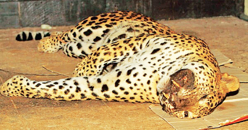 Leopard killing in Kilinochchi: Ten suspects released on bail