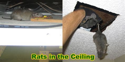 How to Remove and Get Rid of Rats in the Ceiling