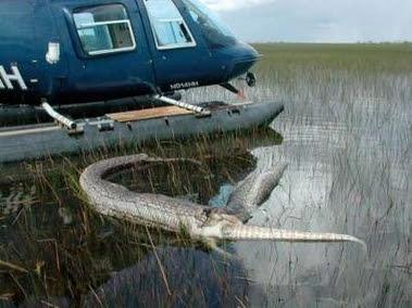 http://ccn1.net/POTD5/python-alligator-2.jpg