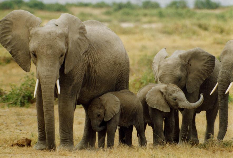 elephants_Peter Knights.JPG