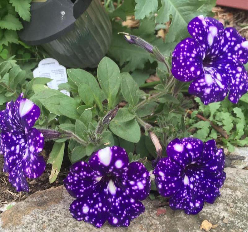 Flores espetaculares parecem ter o universo estampado em suas pétalas 12