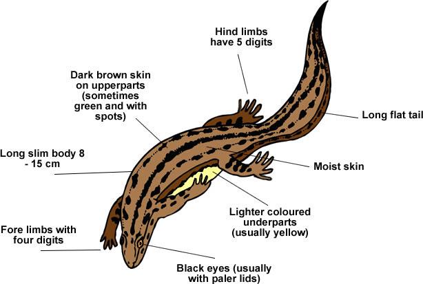 Newt Anatomy