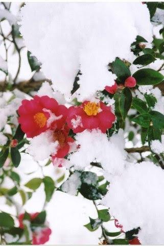 camelliabuds
