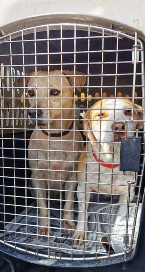 Siete perritos viajan a Canadá para encontrarse con sus nuevas familias tras vivir en las calles