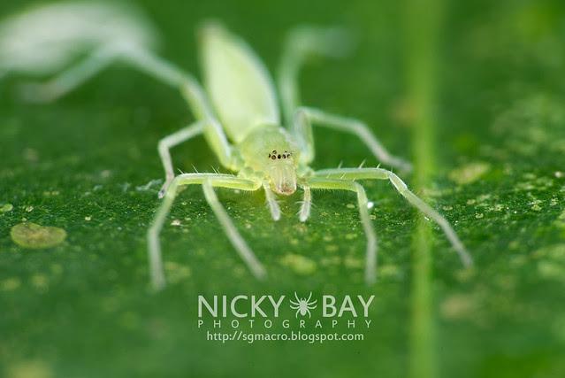 Sac Spider (Clubionidae) - DSC_6486