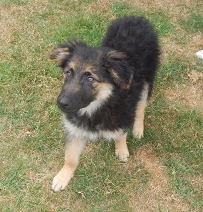 Lucy – 16 week old female German Shepherd cross Collie