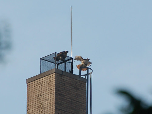 Red-Tails atop St. Luke's