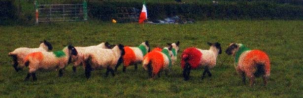 Pecore tricolori   Tricolour sheep